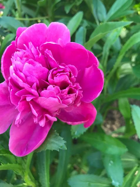light pink peony3