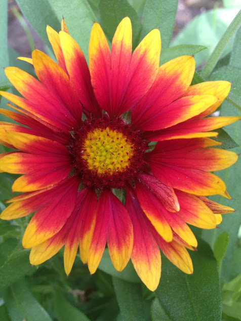blanket flower single bloom