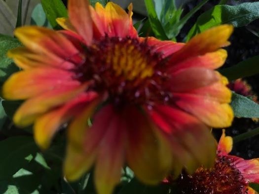 blanket flower1
