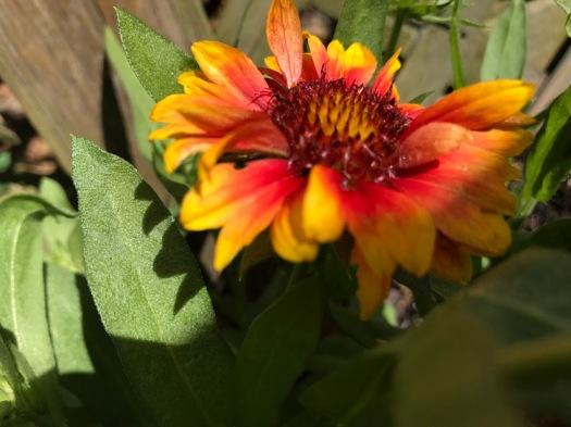 blanket flower2