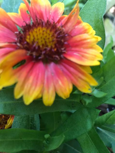 blanket flower3