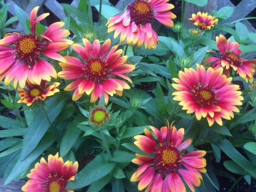 blanket flowers bunches